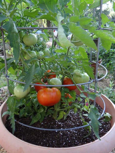 How to Grow Tomatoes in Hot Weather: Heatmaster tomato plant