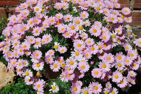fotos de flores 2: margarita rosa | margaritas | pinterest | fotos
