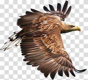 Bird Hawk Eagle Bird Transparent Background Png Clipart Eagle Painting Eagle Drawing Bald Eagle Art