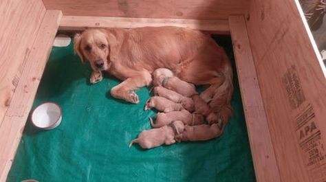 Litter Of 8 Golden Retriever Puppies For Sale In Tucson Az Adn