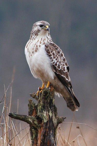 80 Best Hawks Images Birds Of Prey Pet Birds Beautiful Birds
