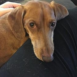 Available Pets At Central Texas Dachshund Rescue In Humble Texas Dachshund Rescue Dachshund Adoption Dachshund