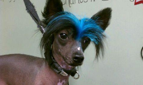 Schopfhund     ***     LIMITED   PRINT # 3 Hairless Chinese  Crested  Dog