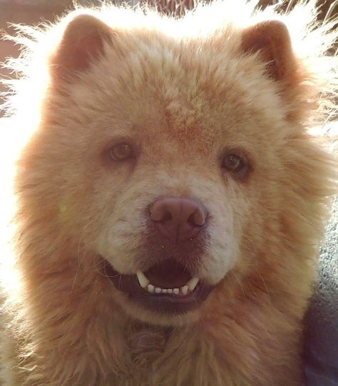 Chow Chow Dog For Adoption In Joplin Mo Adn 555982 On