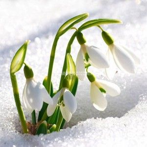 Bramble Berry S Sparkling Snowdrop Fragrance Oil Spring Flowers Beautiful Flowers Flowers