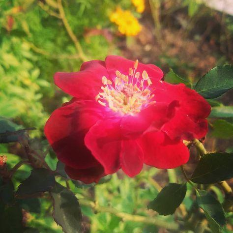 Sundaying! 🌹 #flowersarebeautiful #flowers_mania #flowerworld #flowerphotography #flower_special #flowersgram #flowerphoto #flower_keeper_photography #flowers #flowerstagram #flowerpic #flowerpower #flower_daily #flowerlovers #flowers_super_pics #flowers_shotz #flowerinstagram #mondaymood #tuesdaythoughts #wednesdaywisdom #thursdaythoughts #fridayfunday #saturday #sundayspecial #sunshine #greenisgood #yellowflowers🌼 #orange #pink #pinkflowers