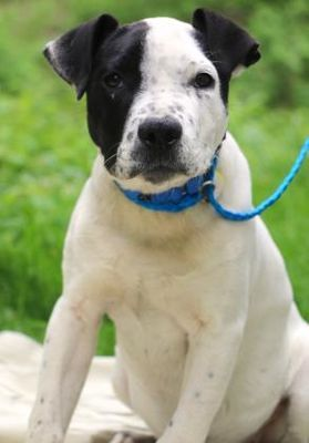 Chester Springs Pa American Bulldog Meet Hennessy A Dog For