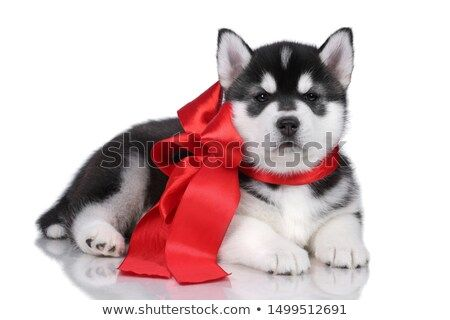 Stock Photo Cute Siberian Husky Puppy With Red Bow Husky Puppy