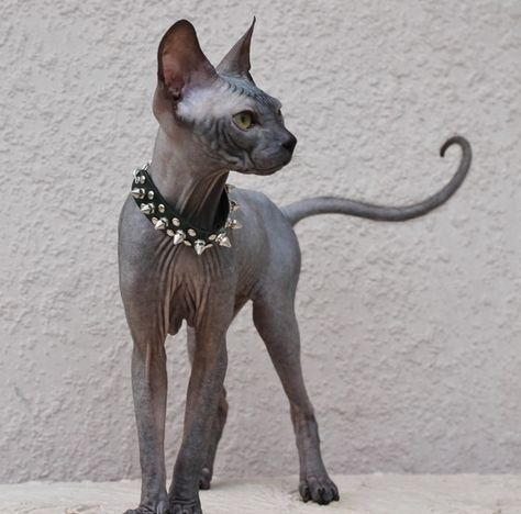 Pin By Nolchae On Animals In 2020 Cat Breeds Kittens