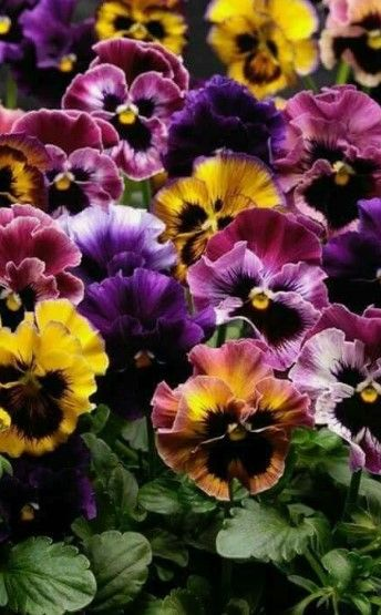 Annual Gardening And Annual Garden Deign Plants Beautifulflowers Amazingflowers Pansies Flowers Flower Seeds Flower Landscape