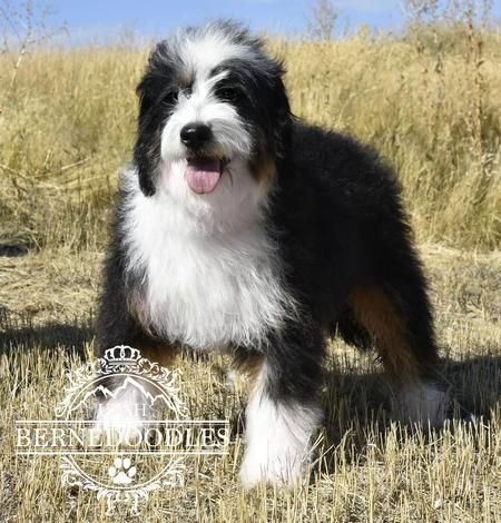 Mini Bernedoodle Full Grown Bernedoodle Mini Bernedoodle Bernese Mountain Dog Poodle