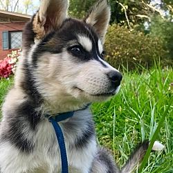 Hagerstown Md Husky Meet Polaris Rbf A Dog For Adoption