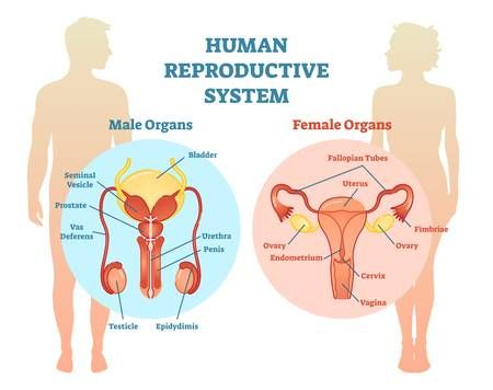 Human Reproductive System Vector Illustration Diagram Male And In 2020 Reproductive System Female Reproductive System Endocrine System