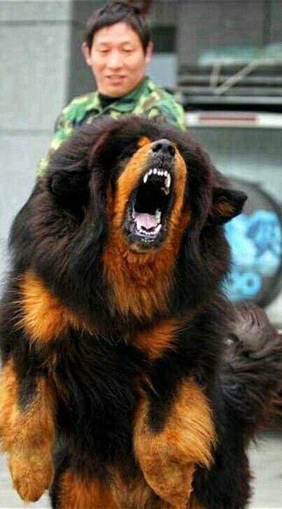Red Tibetan Mastiff From Dokhyi Kennel Tibetan Mastiff Mastiffs