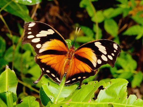 Bộ sưu tập cánh vẩy 4 - Page 26 B7abcb41848c5f0c8a5460cc7b77b421--cris-butterfly