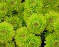 Bulk Green Button Mum - Kirmit.  Starting at $71.95.  Common Name: Kermit poms or Yoko Ono poms    Description: Less than 1 inch across and 18 inches tall, pompons produce masses of small, round, double flowers.  Composite heads of ray and disk flowers in numerous forms and sizes at ends of branches.