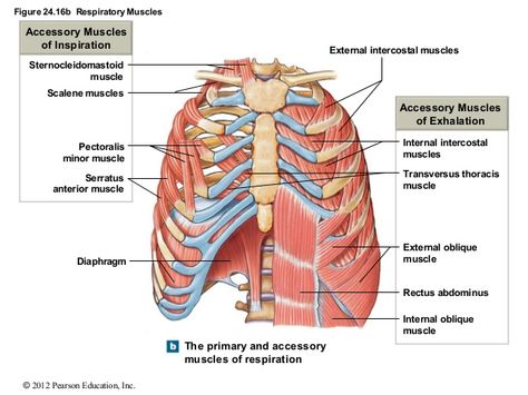 Sistema muscular | Resources for Medical & Scientific Translators ...