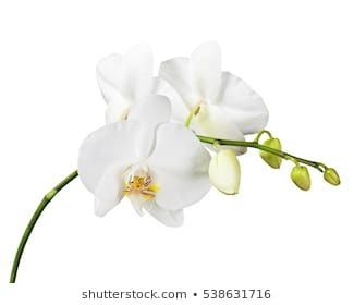 Similar Images Stock Photos Vectors Of White Orchid Isolated On White Background 426326476 Shutterstock In 2020 White Orchids Orchids Orchid Flower