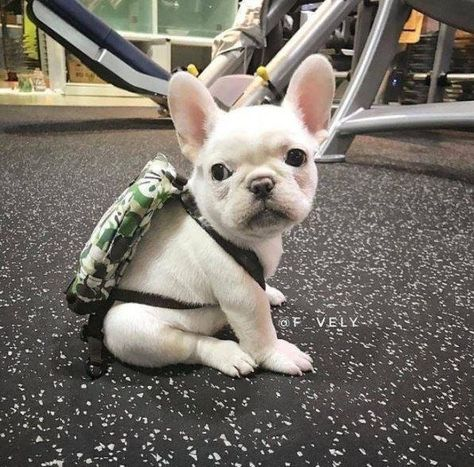 20 Puppies Wearing Backpacks Cutesypooh Teacupbulldog French