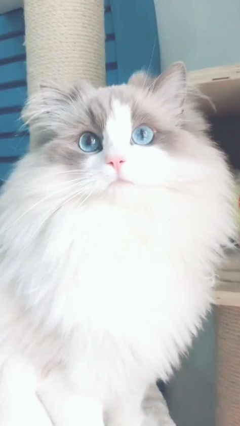 Where to Find Ragdoll Kittens for Sale?  #ragdollkittens Where to Find Ragdoll Kittens For Sale? If you are looking to buy a Ragdoll Kitten or adopt, it might seem straightforward, however there are many things you should know beforehand. Click our pin to follow the tips for buying a Ragdoll Cat #Ragdoll #Ragdollcats #Ragdollkittens #kittens #cats #ragdollkittens Where to Find Ragdoll Kittens for Sale?  #ragdollkittens Where to Find Ragdoll Kittens For Sale? If you are looking to buy a Ragdoll K
