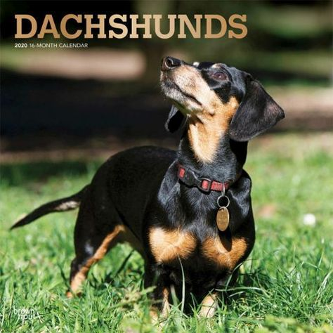 Dachshunds 2020 Calendar Low To The Ground And Long In Body The