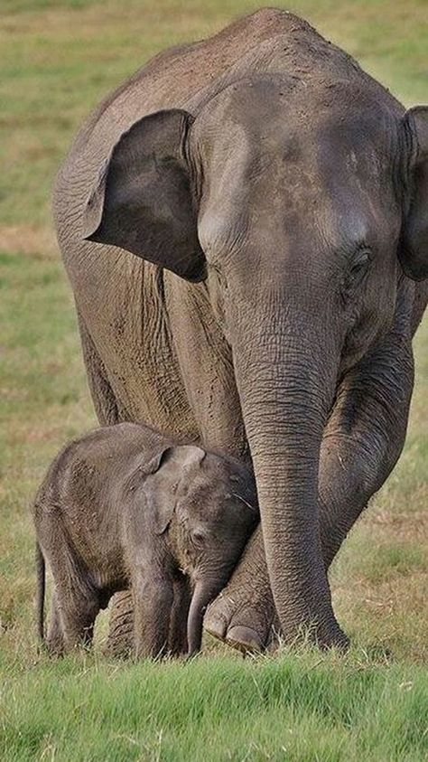 Out and about with baby elephant Mit Baby Elefant unterwegs Out and about with baby elephant , Baby, elephant Cute Baby Animals, Animals And Pets, Funny Animals, Mother And Baby Animals, Mother And Baby Elephant, Wild Animals, Asian Elephant, Elephant Love, Mama Elephant