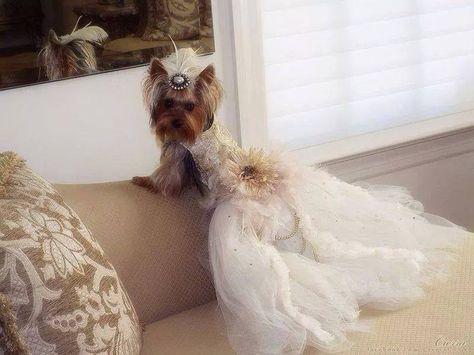 yorkie bride