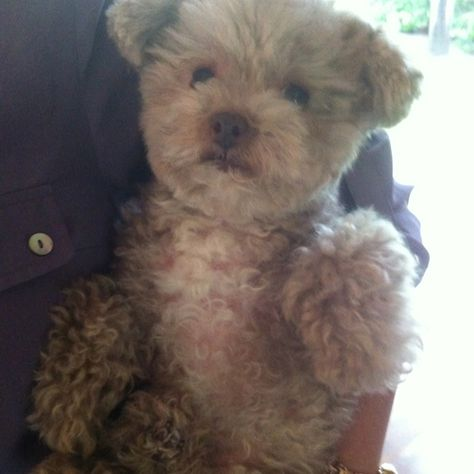 Maltipoo Maltipoo Dog Puppy Time Baby Dogs