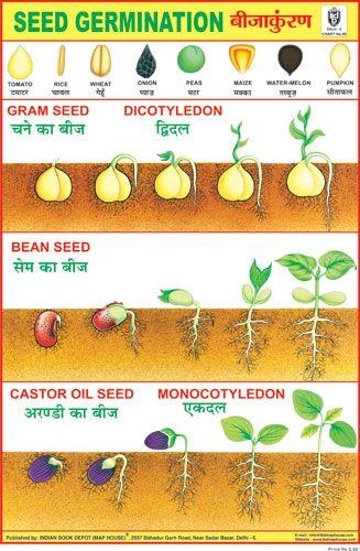 Seed Germination Seed Germination Germination Name Of Vegetables