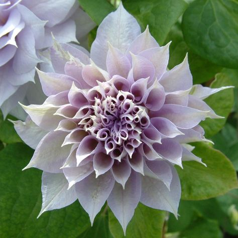 Clematis 'Dancing Smile' - Climbing Seeds & Plants - Thompson & Morgan Double flowering clematis