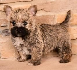 Puppies For Sale All Breeds Lancaster Puppies Cairn Terrier
