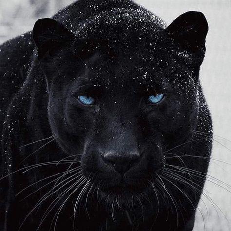 94 Fekete párduc ideas | párduc, nagymacskák, állatok
