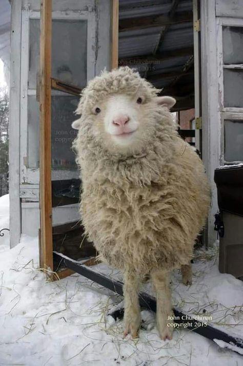 This is a cute sheep. A happy sheep. A fluffy sheep. A smiling sheep Cute Baby Animals, Farm Animals, Animals And Pets, Funny Animals, Happy Animals, Animals Images, Nature Animals, Wild Animals, Cute Creatures