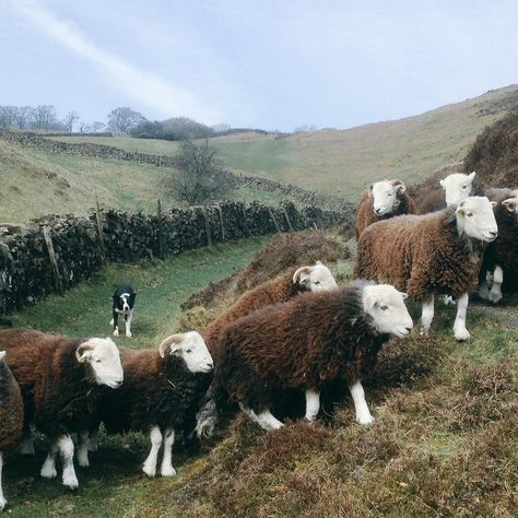 James Rebanks (A Shepherd's Life) photo of Floss, one of his sheepdogs, and some of his Herdwick lambs. Fabulous photo!