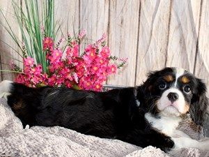 Puppies For Sale Puppies For Sale Puppies Spaniel Dog