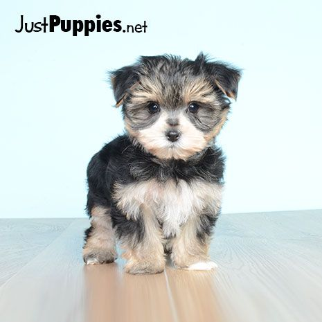 Puppies For Sale Orlando Fl Available Puppies Puppies For