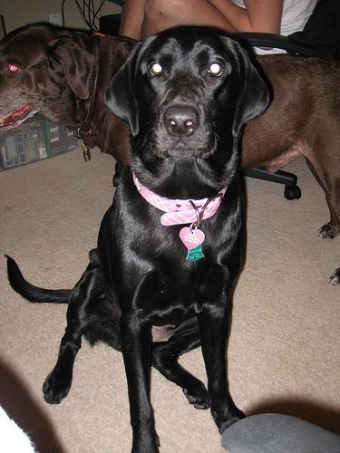 Labrador Breeders Kent You Want This Labradornecksize