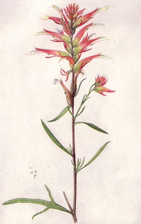 National Geographic Magazine/Volume State Flowers/The Indian Paintbrush - Wikisource, the free online library
