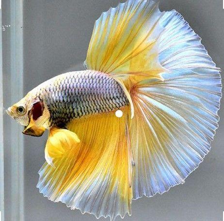 Best Betta Fish Tanks Reviews Aquariumfreshwaterfishpictures Betta Fish Tank Betta Fish Betta