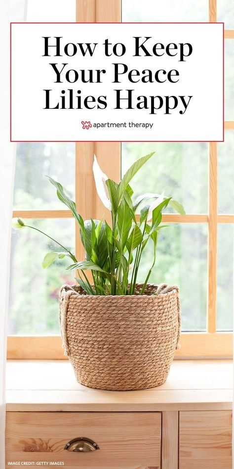 Here's how to grow and care for peace lily plants. #peacelilies #lowmaintenanceplants #beginnerplants #peacelilytips #peacelilycare #peacelilytips #houseplants #easyhouseplants