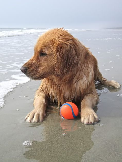 That Was Fun Out There In The Waves Catching My Ball Golden