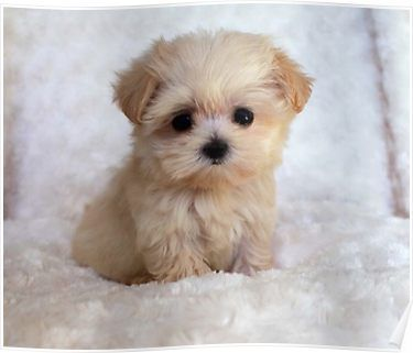 Cute Puppy Poster By Bigtomo Cute Dogs Puppies Cute Animals