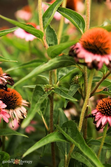 Echinacea Guide Planting Pruning And Caring For Coneflowers Plants Pollinator Plants Echinacea