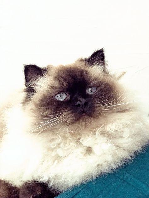 #cats #cat #catlovers #catlife #catsandkittens #catart #ragdoll #ragdollcat #chat #chatmignon #blue #blueeyes #beauté #mignon #cute #pets #pictureoftheday #picoftheday #photo #photography #mignon #catoftheday