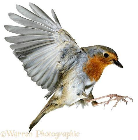 Robin in flight photo