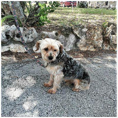 Tavares Fl Yorkie Yorkshire Terrier Meet Bazel A Dog For