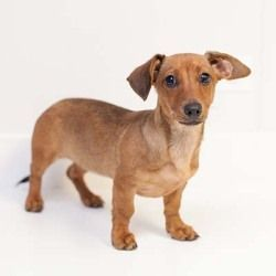 Freya Is An Adoptable Dachshund Dog In Hinsdale Il Breed