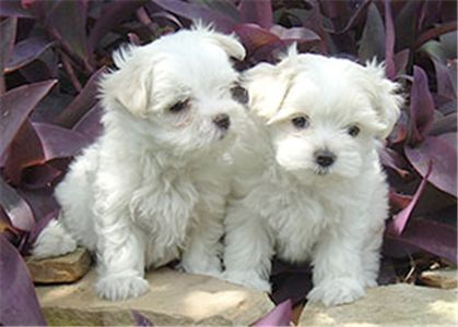 Free Puppies Free Puppies For Adoption Puppies For Sale Maltese
