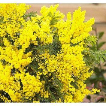 Special Deal Acacia Dealbata Gaulois Astier Mimosa Tree 140 240cms 14024 140240cms14024 Acacia Astier Deal In 2020 Mimosa Tree Mimosa Plant Acacia Tree