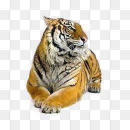 Free Download Tiger Siberian Tiger Felidae Bengal Tiger Png Image Iccpic Iccpic Com Siberian Tiger Bengal Tiger Tiger